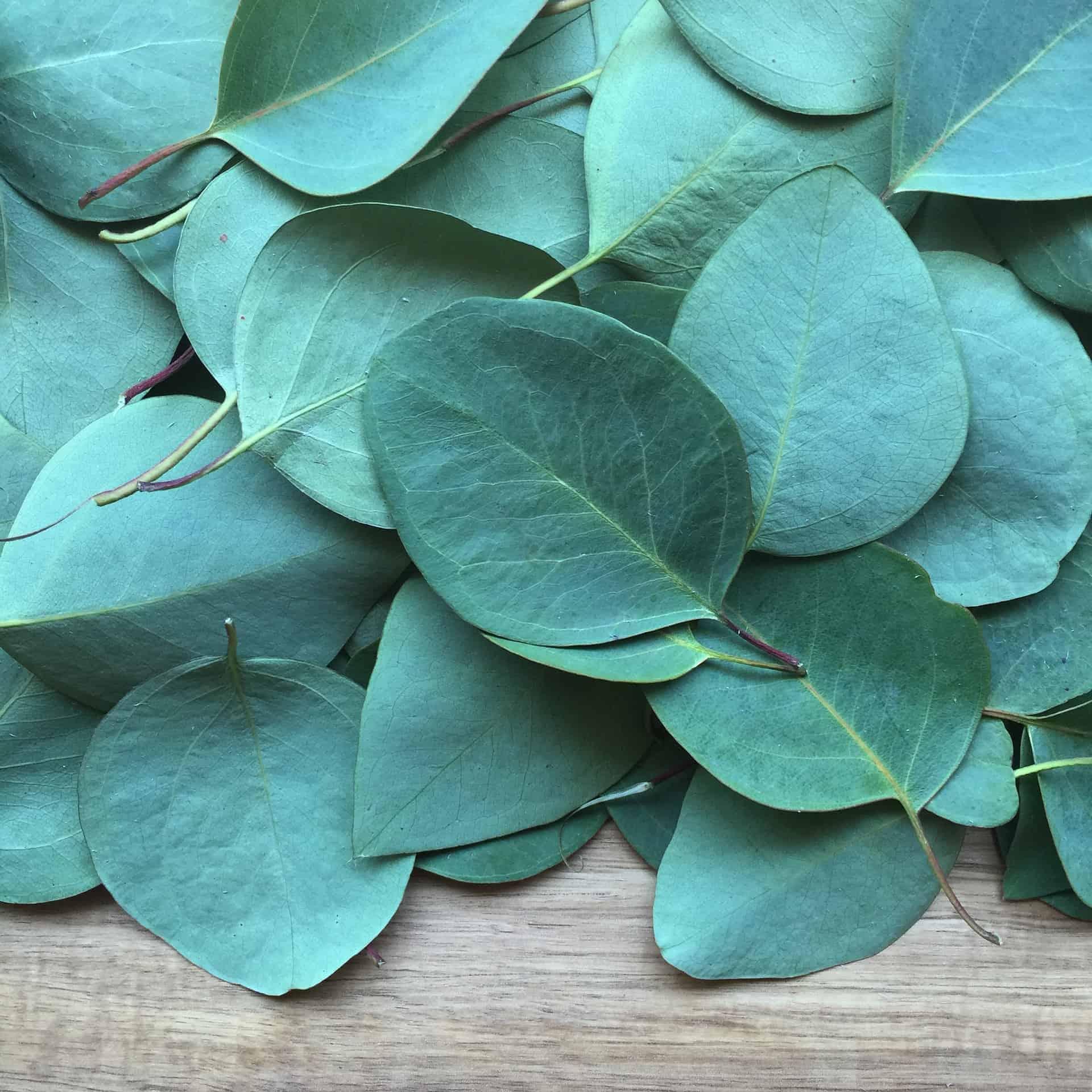 8 Health Benefits of Eucalyptus